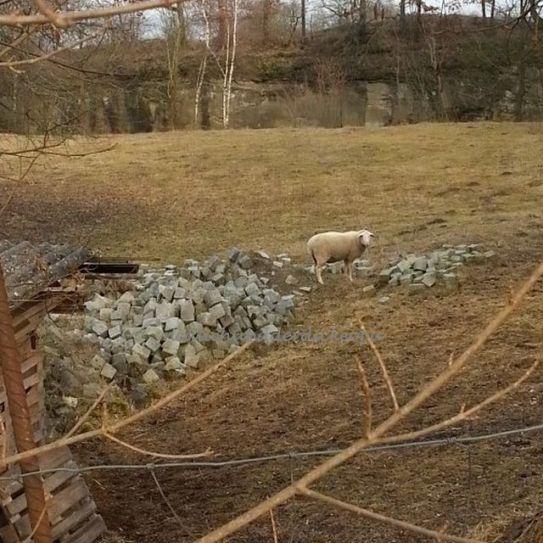 Ein Schaf zwischen Würfelbeton?