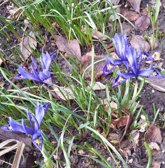 Mini-Iris